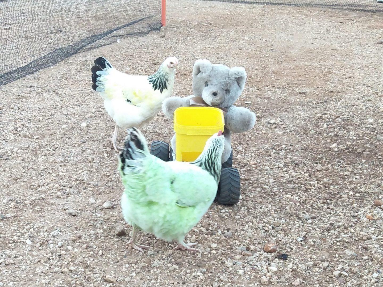 Chicken racing with Tambo Teddy Bears